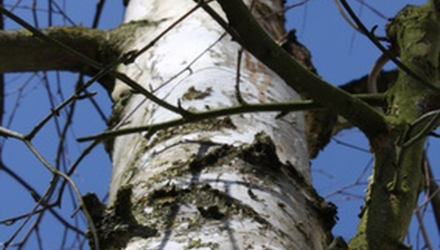Birch trees like the paper birch grow in temperate regions.