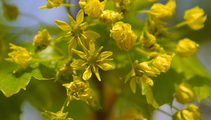Blooms of the American Linden