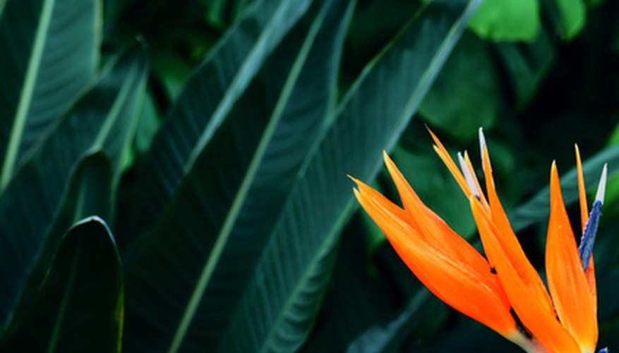 Brighten your backyard with bird of paradise blossoms.