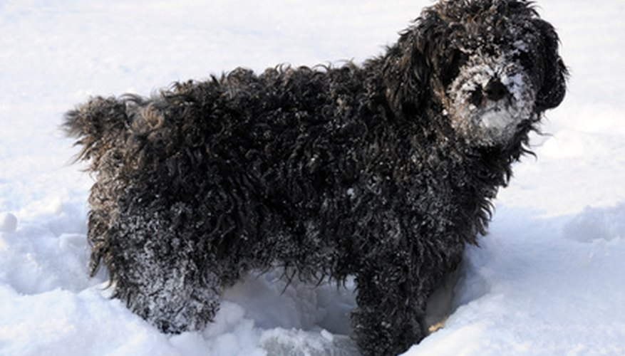 Dogs with long, curly fur will need regular grooming to keep a healthy coat.