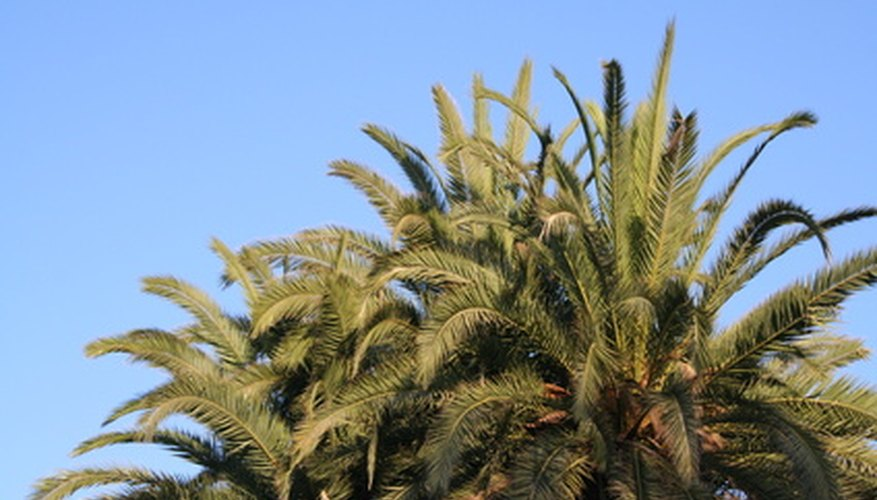 Root rot is nearly always fatal in palm trees.