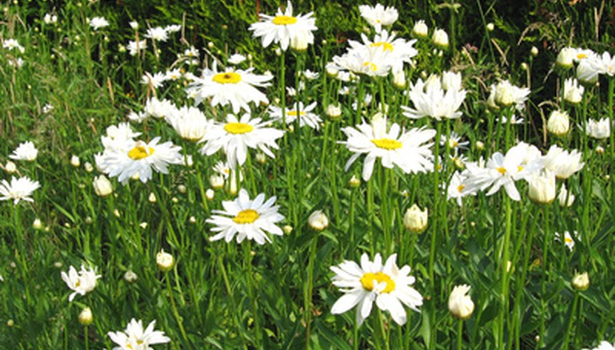 Shasta daisies in bloom