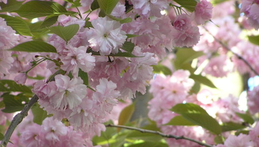 Weeping cherry produces pink blossoms in spring.