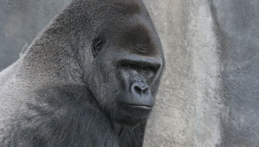 Adult male mountain gorillas, called