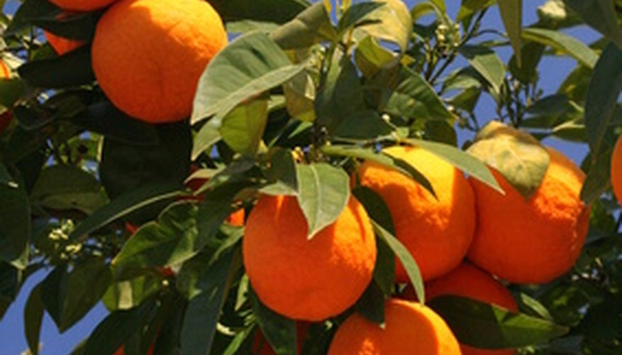 Oranges ready for harvesting