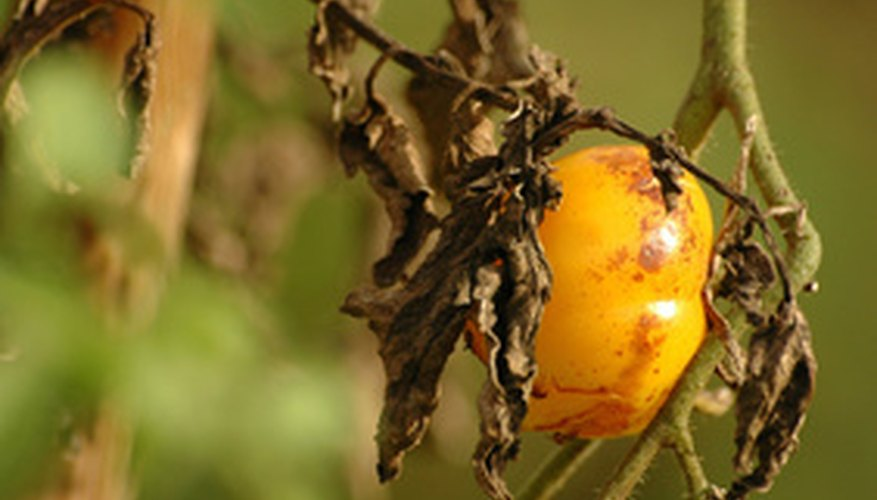 Fruit may fail to ripen properly due to heat stress.