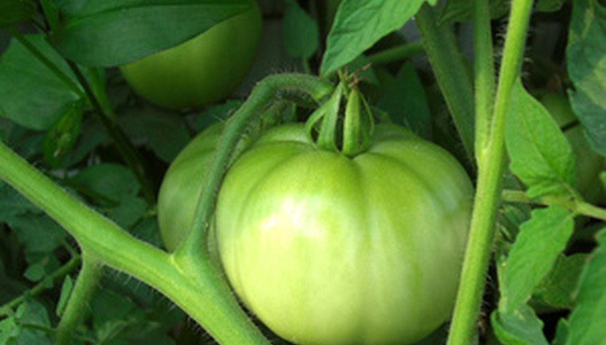 Green Tomato on the Vine