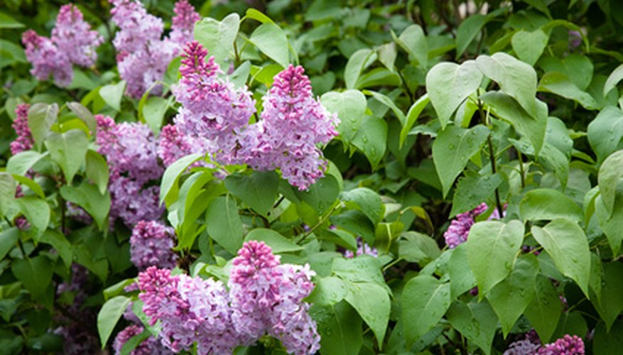 Blooms on a lilac growing in full sunlight.