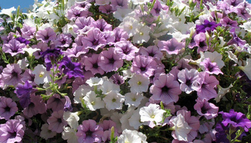 Petunias are an easy favorite for hanging baskets.