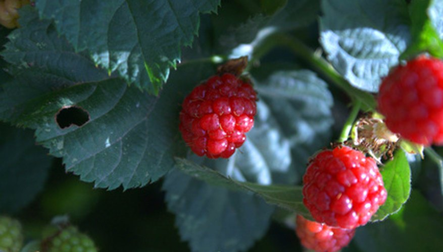 Wild raspberries are virtually identical to their garden-dwelling cousins.