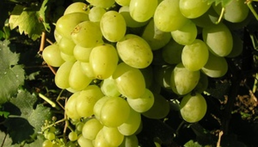 Chile produces lots of grapes on the mild climate slopes of the Andes.