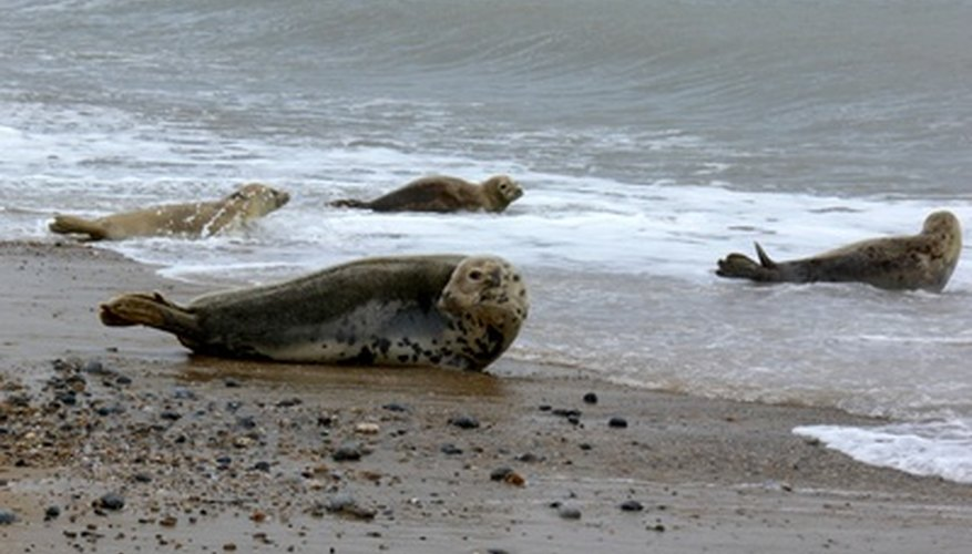 Seals can avoid predators on land.