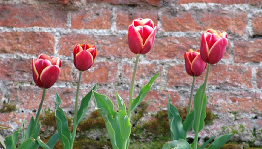 Tulips offer early spring blooms near retaining walls.