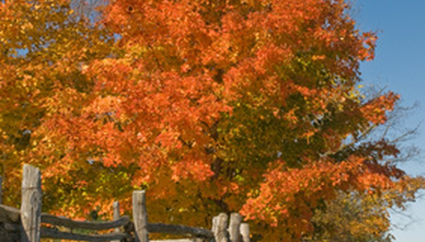 Maple trees are popular in the United States.