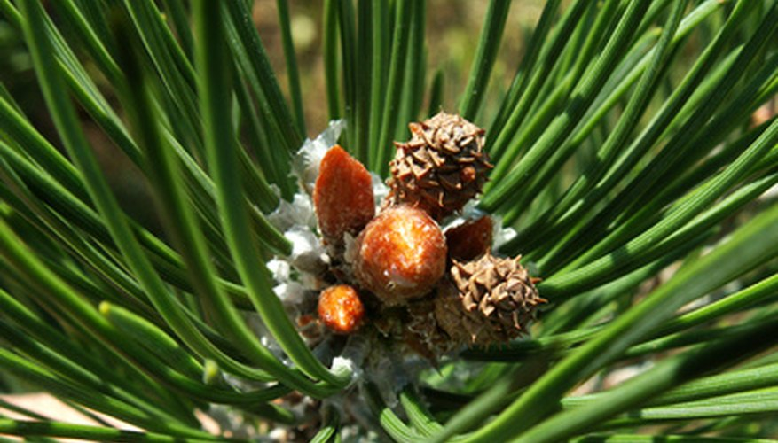 Pines offer beauty and aroma to your home.