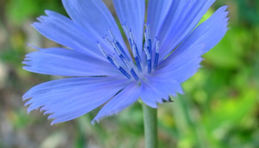 Chicory's erect, sturdy stems.