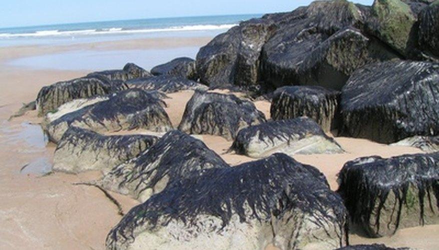 Las algas pueden ser multicelulares, como las algas marinas.