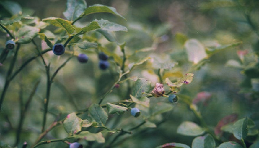 The leaves of the blueberry plant turn yellow due to nutrient deficiencies and disease.