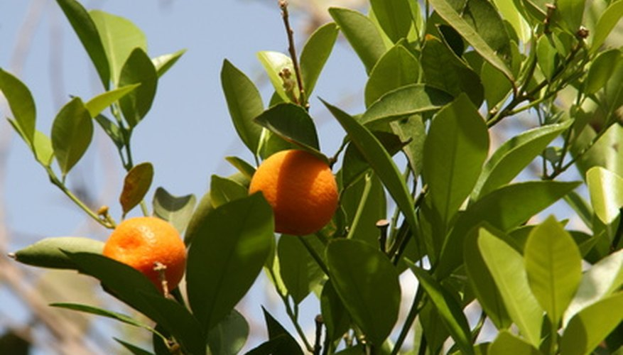 Orange trees require regular care to prevent disease and overgrowth.