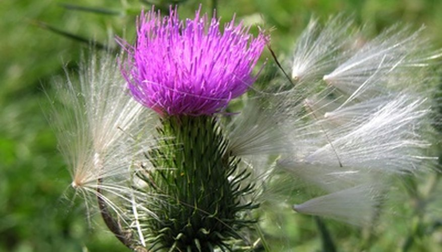 Noxious thistle weed