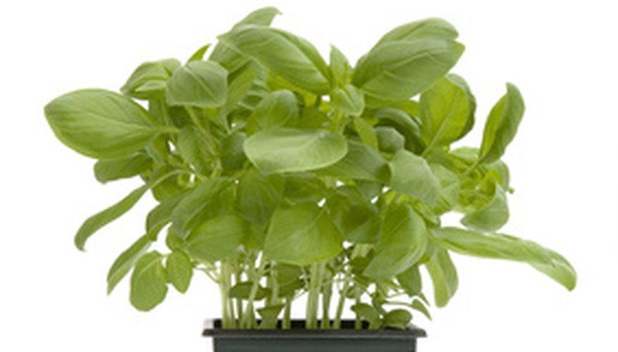 You can grow basil indoors either from seed.