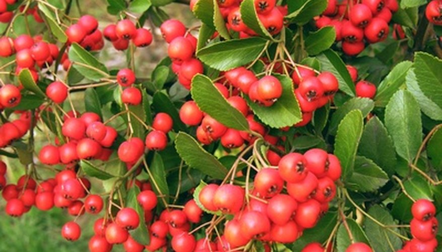 The cockspur hawthorn produces berries that stay on the branches in winter.