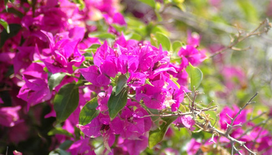 Bougainvillea climbs by sending out canes.