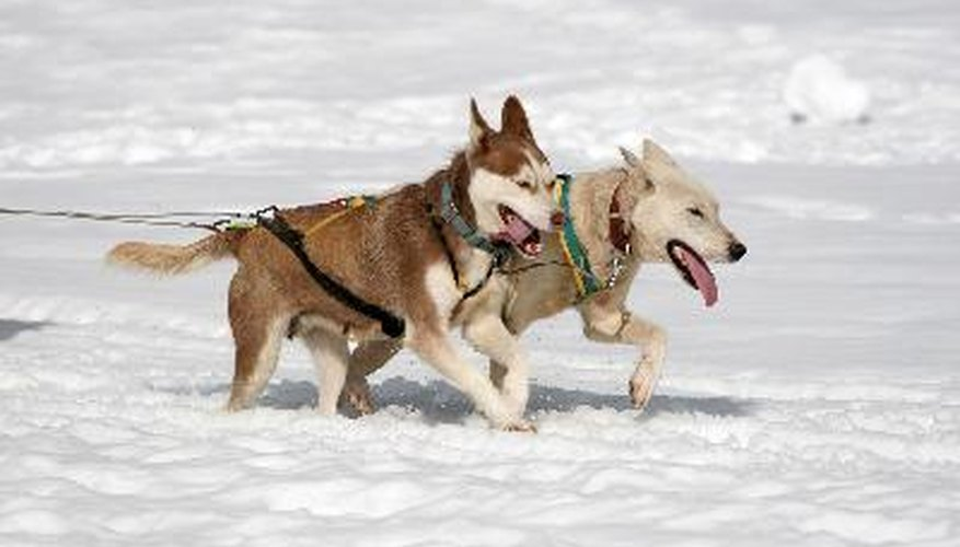 Huskies can earn special sled dog titles.