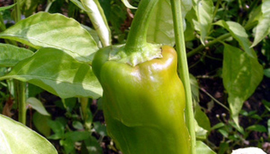 Pepper plants can suffer from fungus in damp conditions.