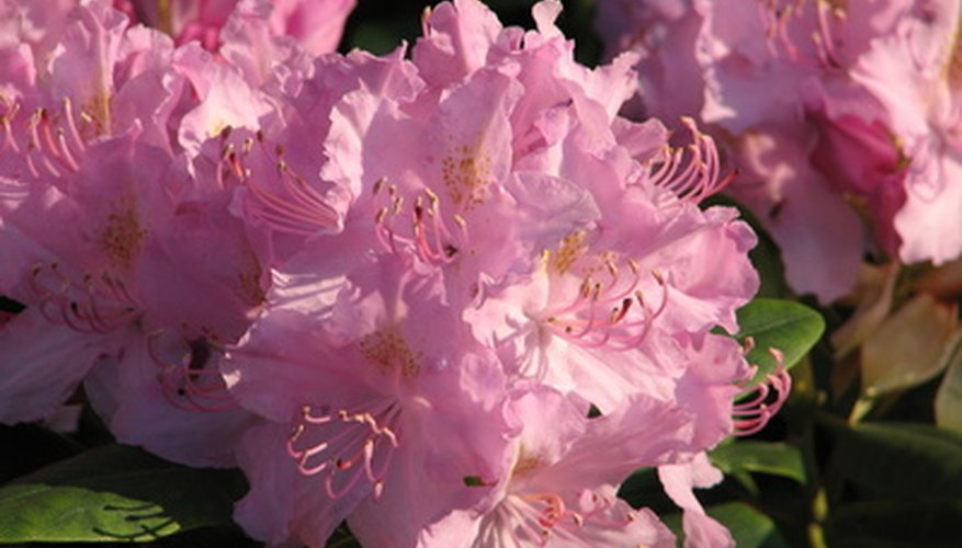 Rhododendrons have dark green foliage and beautiful blossoms.