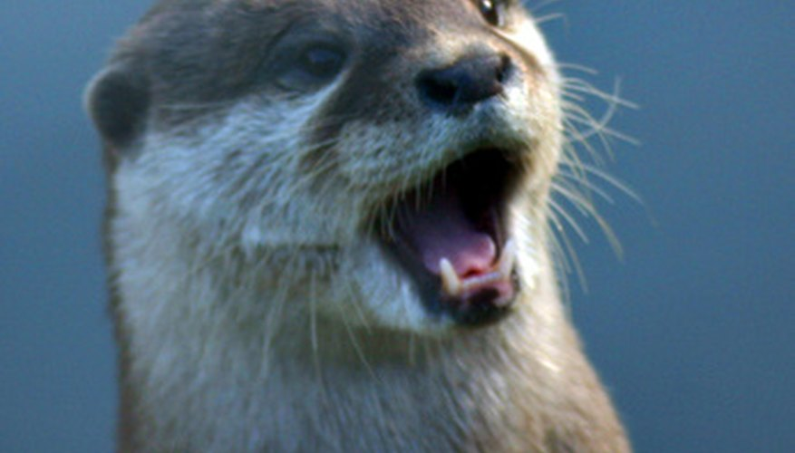 Otters occasionally eat hibernating snapping turtles.