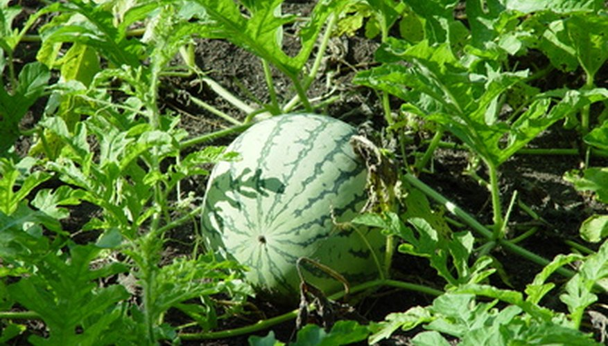 Melons need more room to grow than carrots.