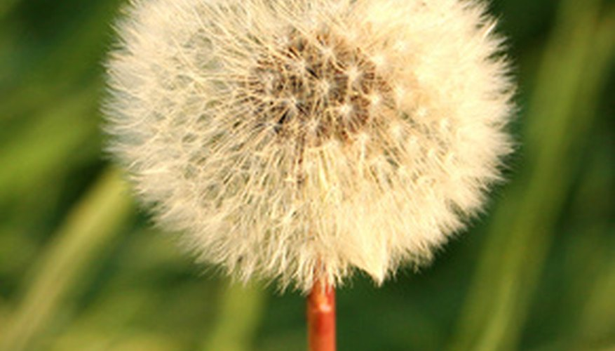 Dandelion seeds are ready to spread with the slightest breeze.