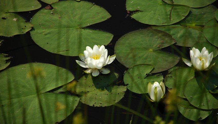 Water lilies range in size from 1 to 12 inches.