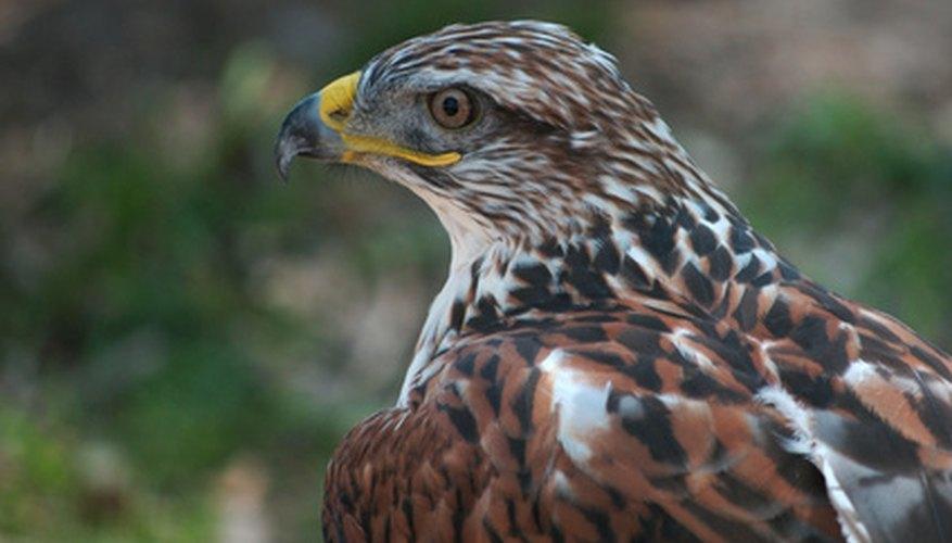 Los halcones sobreviven cazando animales pequeños.