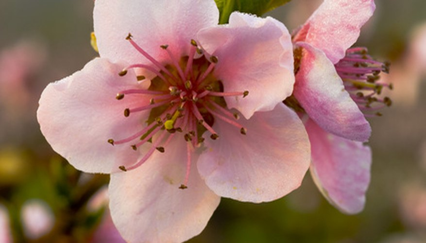 Peach blossom is often used in Chinese flower arranging.