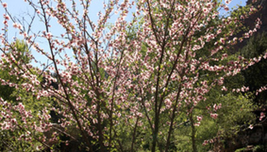 Almond trees are attractive and produce edible nuts.