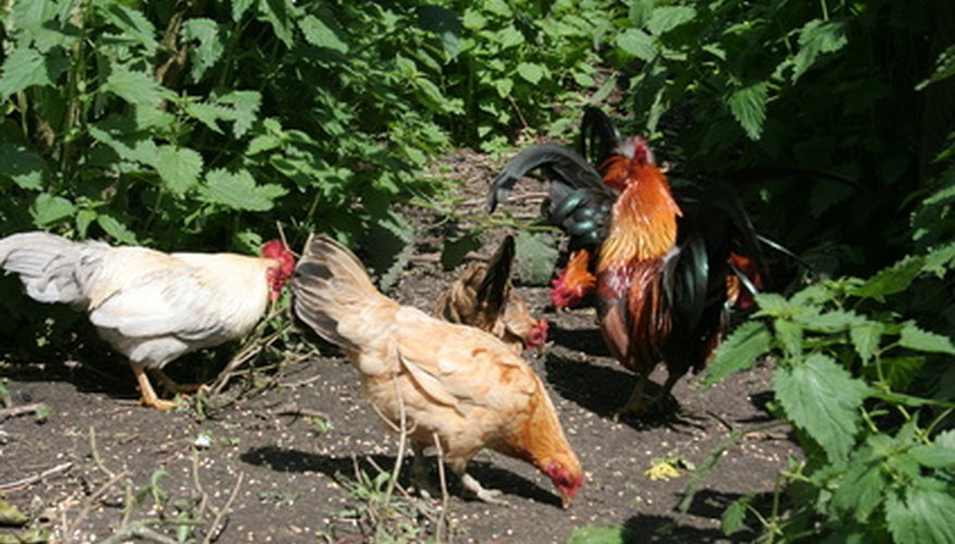 Chickens and vegetable gardens are natural companions.