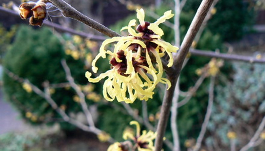 Witch hazel flowers after autumn foliage has dropped.