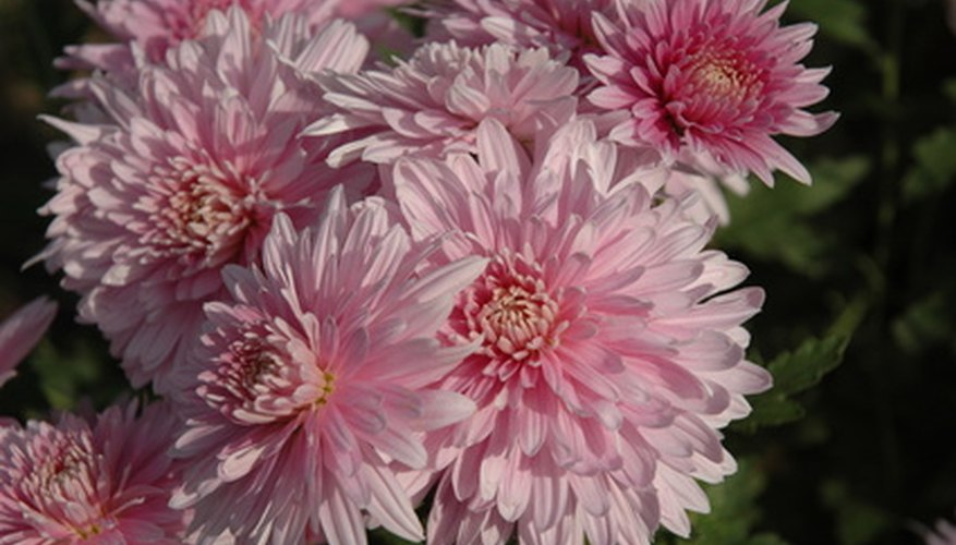 Pink chrysanthemum blooms