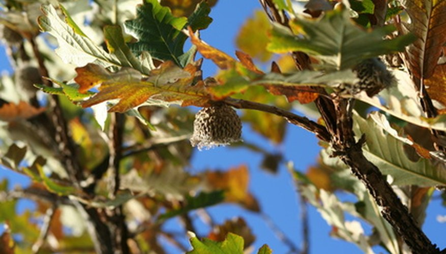 Oak trees bear small acorns that are loved by wildlife.