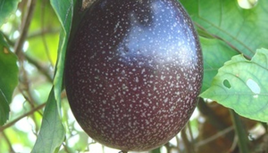 Purple passion fruits are different hues of purple when ripe.