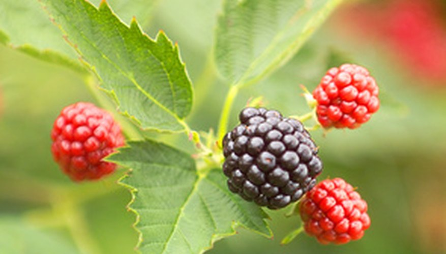 This variety shows the three-leaf pattern and blackberries in several stages of ripeness.
