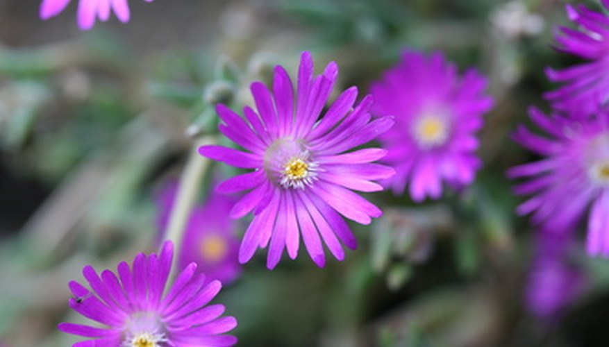 Cooper's hardy ice plant in bloom.