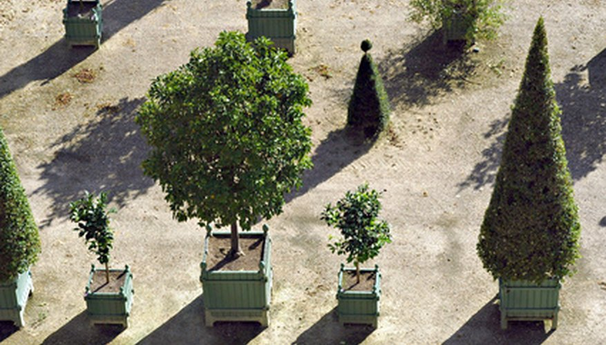 Grown in pots, bay trees are often used as topiary trees.