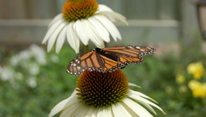 Coneflowers and butterflies