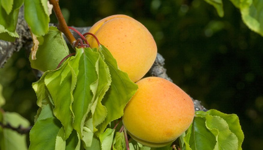 Royal apricots are commercially grown.