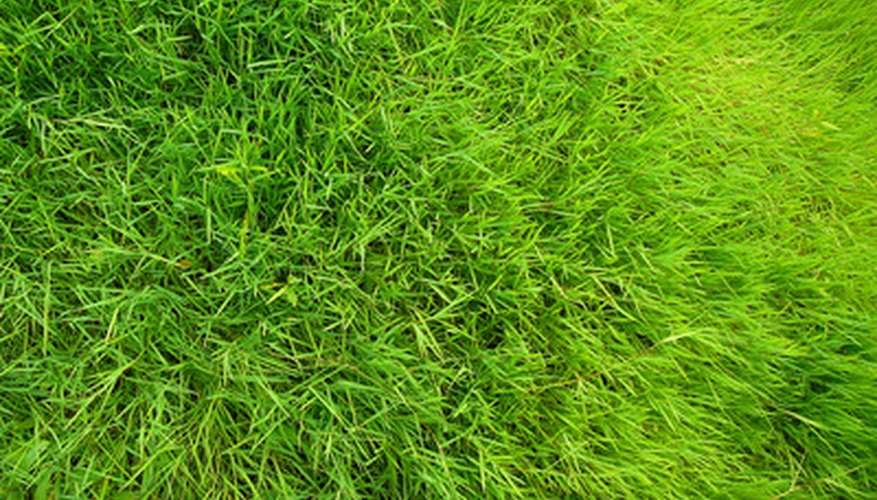 A healthy turf lawn can remain weed-free.