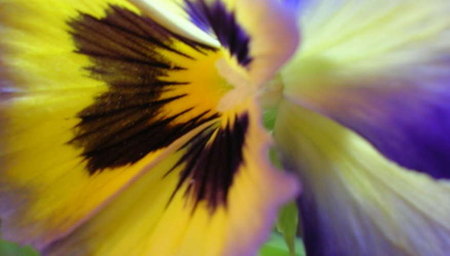 Pansies produce flowers in solid or multi-colors.