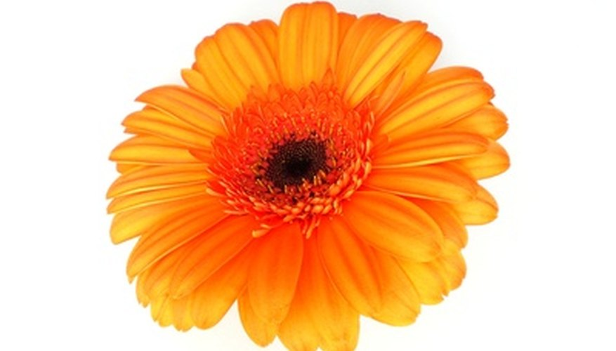 Select gerbera daisy plants with brightly colored flowers
